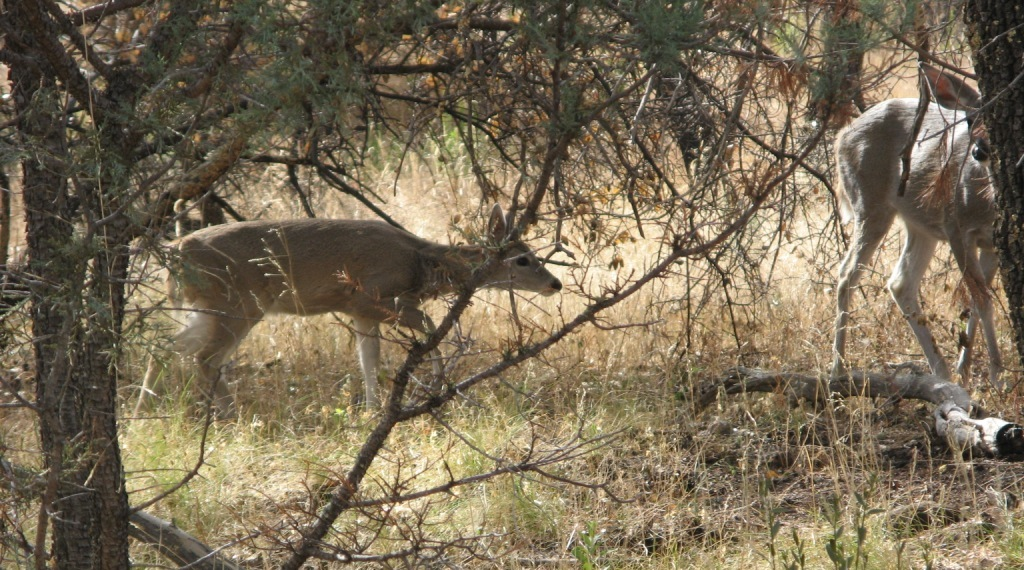Cochise Stronghold Deer
